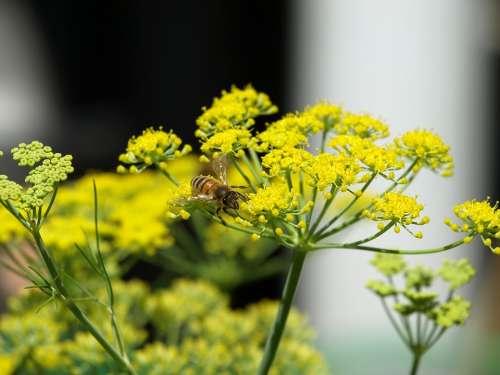 Bee Fennel Yellow Flower