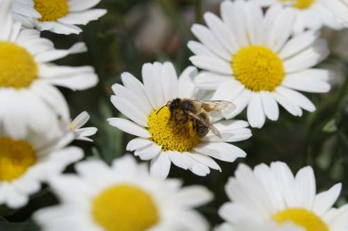 Bee Pollen Nectar Close Up Marguerite Pollination