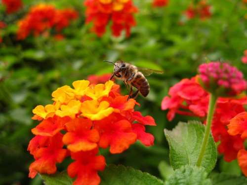 Lantana Bee Flower Insect Color Orange Yellow