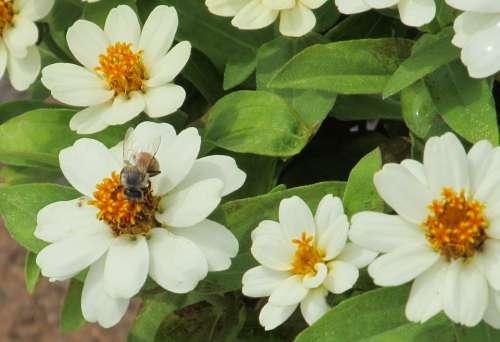 Bee White Flower Petals Pollen White Flower