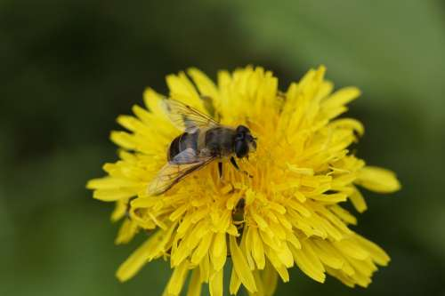 Bee Close Up Dandelion Foraging Pollination