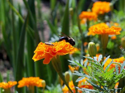 Bee Insect Nature Bug Pollen Flower Orange