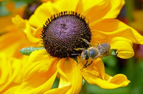Bee Flower Yellow Nectar Plant Summer Insect