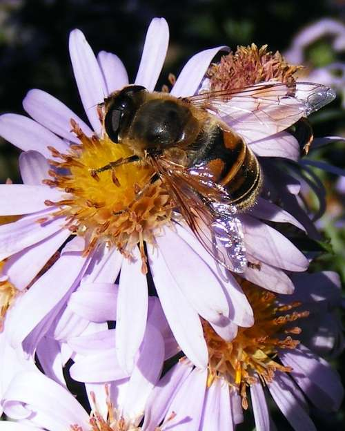 Bee Flower Honey Pollen Pollinating Insects