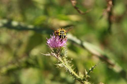 Bee Black Flowers Striped Thistle Wasps Yellow