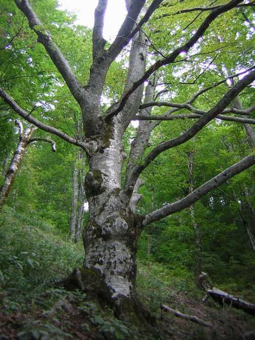 Beech Tree Forest Nature Deciduous Tree