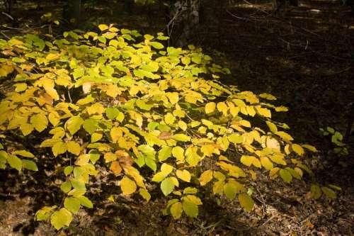 Beech Beech Leaves Leaves Forest Golden October