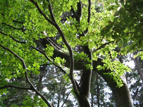 Beech Tree Leaves Green Aesthetic Summer Nature