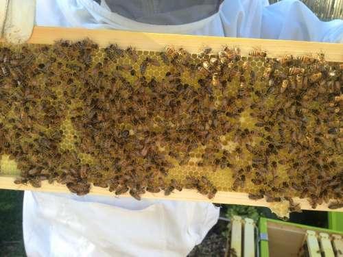 Beekeeper Honey Bees Beekeeping Beehive