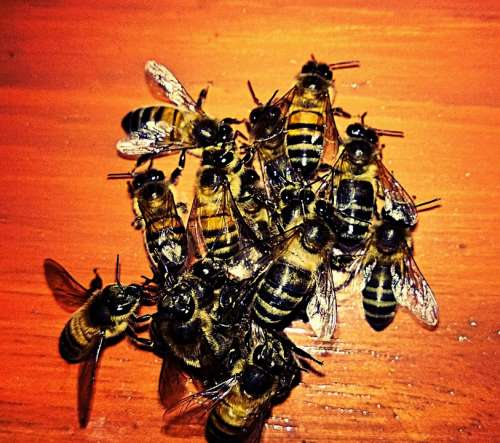 Bees Animals Insects