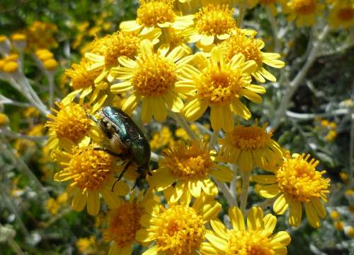 Beetle Flower Yellow Close Up Nature Blossom