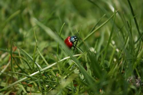 Beetle Grass Insect Blades Of Grass Red