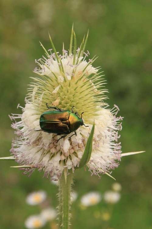 Beetle Bug Cutleaf Dipsacus Green June Laciniatus