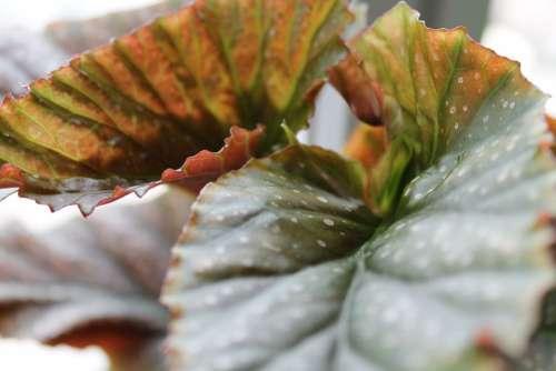 Begonia Leaf Leaves Nature Plant