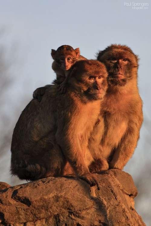 Berber Monkey Monkey Monkeys Animals