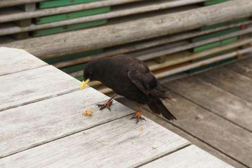 Bergdohle Bird Feather Raven Black Alpine Nature
