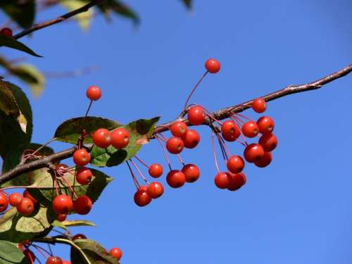 Berries Red Blue Azure Sky Branch Festive