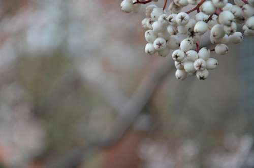 Berries Winter Cherry Leaves Fresh Leaf Nature