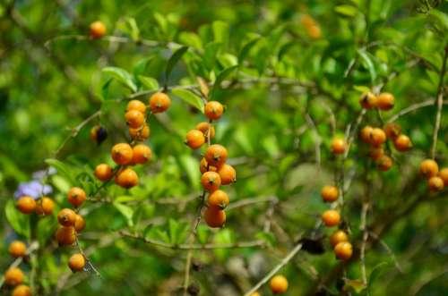 Berries Orange Fruit Plant Indian