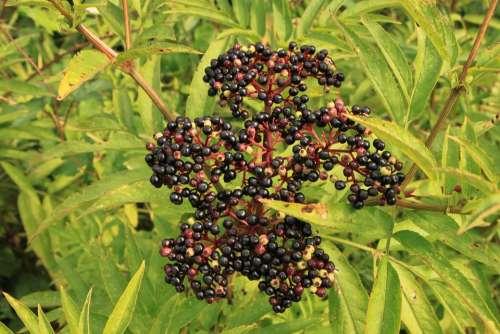 Berries Black Danewort Ebulus Elder Sambucus