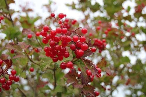 Berries Nature Macro Red