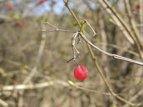 Berry Red Bush Plant Nature