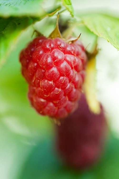 Berry Close-Up Detail Food Fresh Fruit Garden