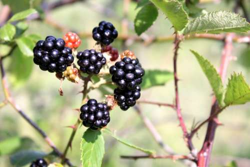 Berry Black Blackberry Bramble Ripe Tree Fruit