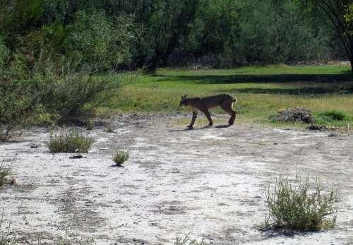Big Bend Texas Landscape Bobcat Feline Wildlife