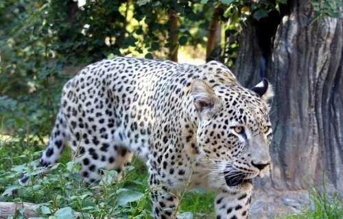 Big Cat Cat Leopard Persian Tiger Wildlife