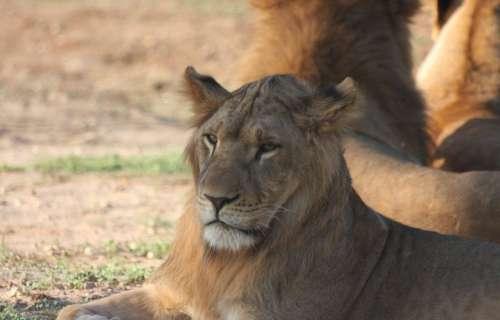 Big Cat Face Lion Portrait Posing Wild Life Young