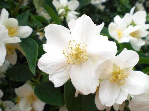 Bill Jasmin White Flower Blossoms White Green