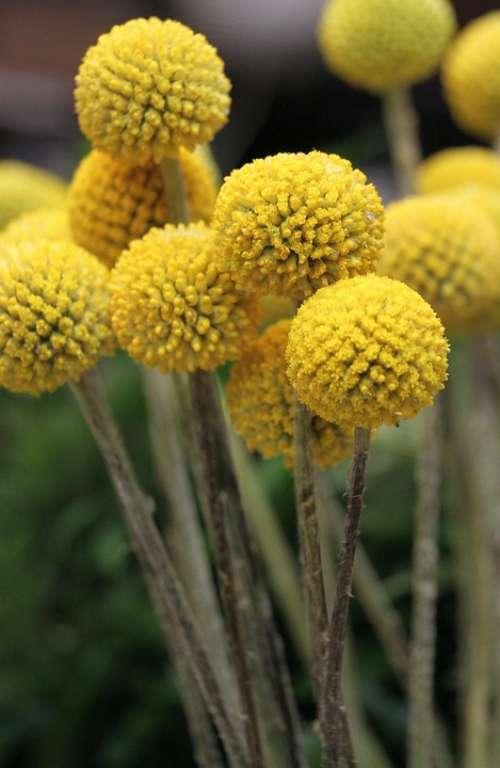 Billy Balls Yellow Freshness Craspedia Floral
