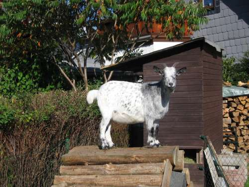 Billy Goat Domestic Goat Goat Animal