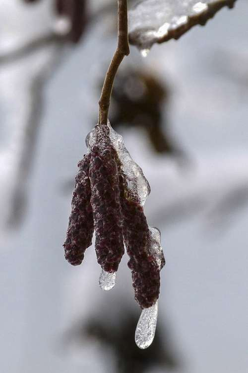 Birch Blossom Frozen Winter Nature Ice Frosted