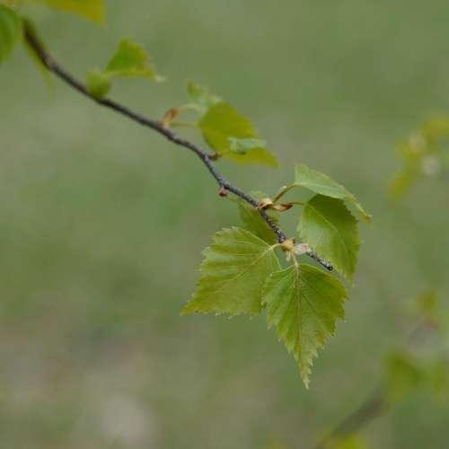 Birch Deciduous Tree Birch Leaf Spring Betula