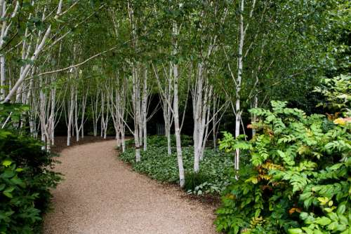 Birch Trees White Barked Grouped
