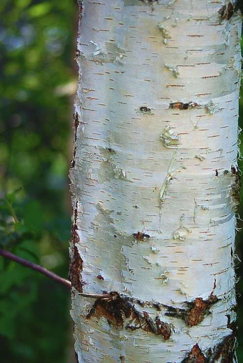 Birch Trunk Birch Trunk The Bark White Plant