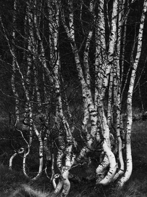 Birch Trees Forest