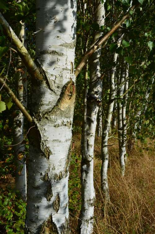 Birch Forest Trees Plant White Sunbeam