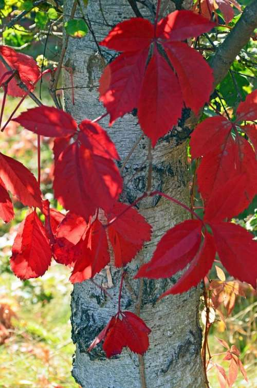 Birch Leaves Late Summer Red Plant Bark