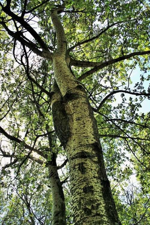 Birch Tree Trees Birch Tall Leaves Yellowing