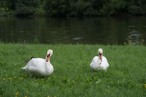 Bird White Swans