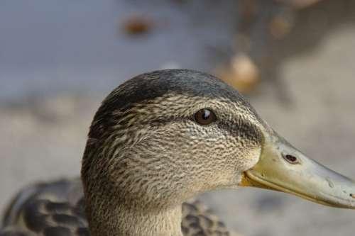 Bird Duck Animal Head Eye Bill