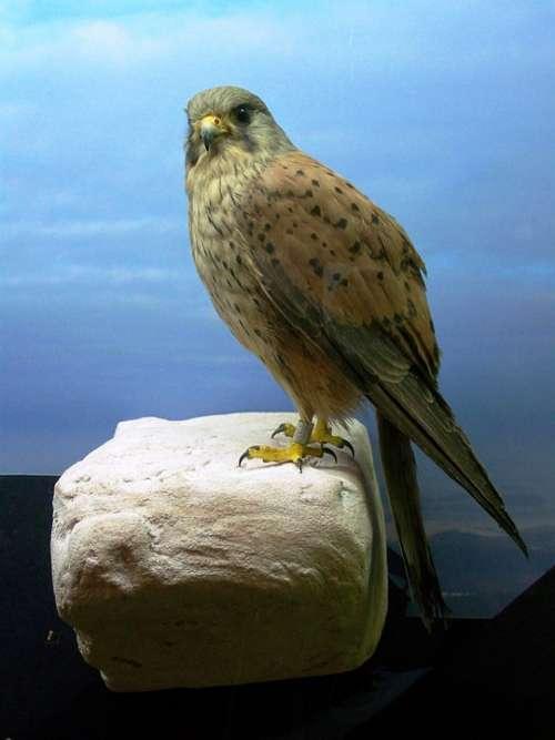 Bird Raptor Animal Nature