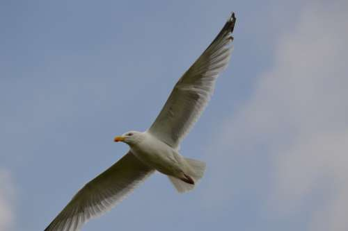 Bird Seabird Seagull Animal Nature Fly Holland