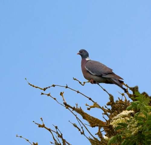 Bird Pigeon Animal Tree Beautiful Perched Blue