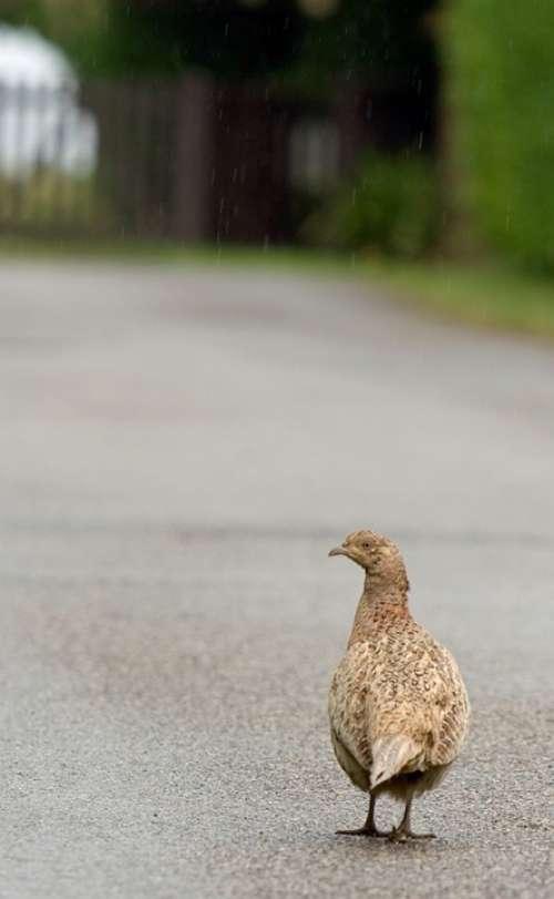 Bird Pheasant Beautiful Nature Female Hen