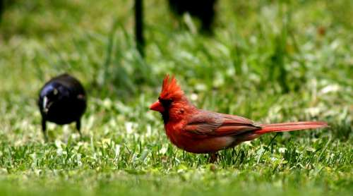 Bird Cardinal Red Feathered Wild Life Nature