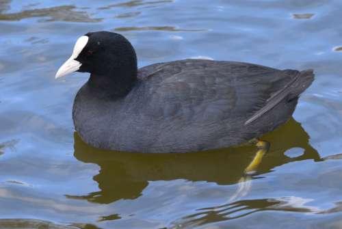 Bird Waterfowl Animal Nature